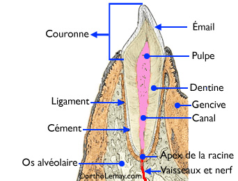 Dental anatomy diagram