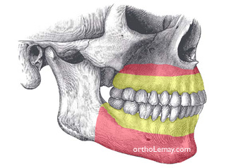 Wisdom tooth are no necessary for the development of basal bone in the jaws.