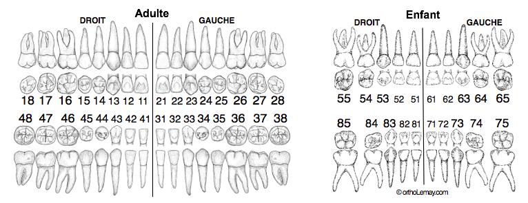 Odontogramme, numérotation dentaire nomenclature FDI orthodontie