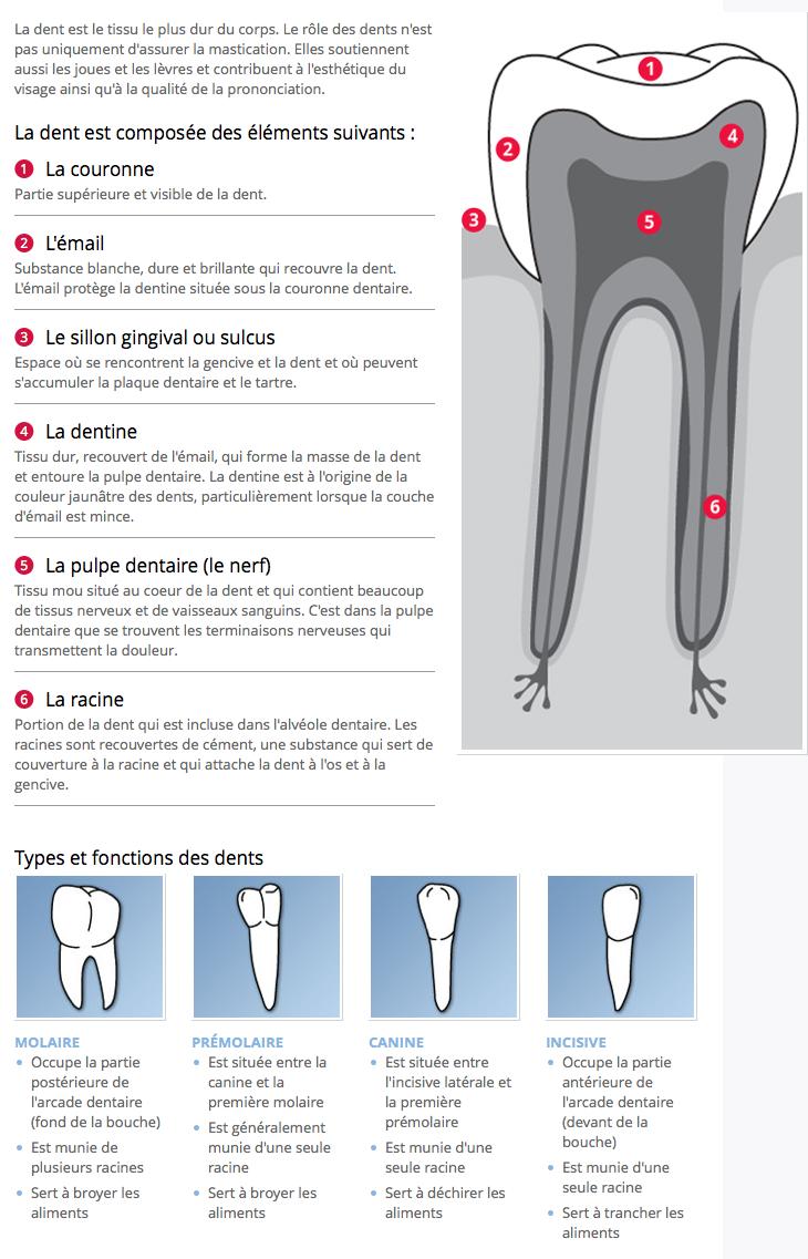 L'anatomie d'une dent et la fonction des dents