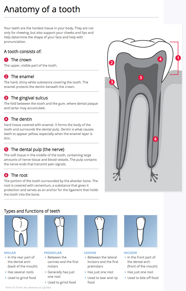 Dental anatomy and function