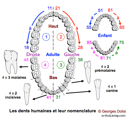 Dental notation FDI dental numbering, Dolisi dentition