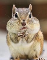 Les extractions dentaires peuvent causer de l'oedème et de l'enflure et faire gonfler le visage comme un écureuil!