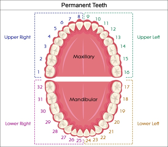 Universal dental numbering system. Orthodontics and dentistry
